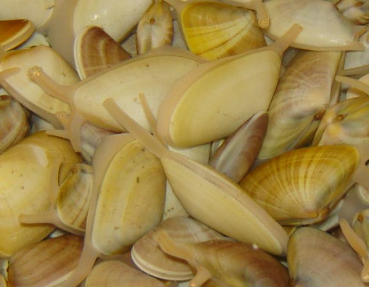 Comunicado do IPMA sobre interdição de captura de moluscos bivalves